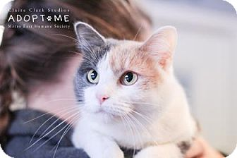 Domestic Shorthair Cat for adoption in Edwardsville, Illinois - Temple
