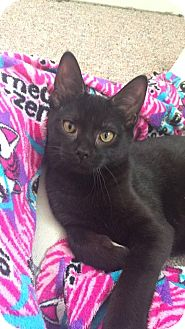 Domestic Shorthair Kitten for adoption in Davison, Michigan - Gavin