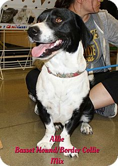 Basset Hound/Border Collie Mix Dog for adoption in Cheney, Kansas - Allie