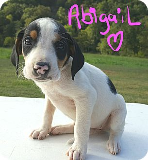 Beagle Mix Puppy for adoption in Sussex, New Jersey - Abigail
