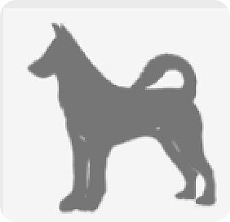 Rottweiler/German Shepherd Dog Mix Dog for adoption in Barrington, Illinois - Indi