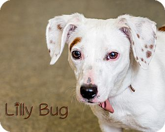 Dachshund/Jack Russell Terrier Mix Dog for adoption in Somerset, Pennsylvania - Lilly Bug