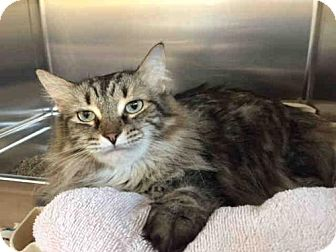 Domestic Mediumhair Cat for adoption in Toronto, Ontario - SILKY