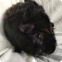 Guinea Pig for adoption in Steger, Illinois - Jax