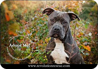 Pit Bull Terrier Dog for adoption in Lincoln, Nebraska - Reece