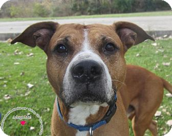 Boxer Mix Dog for adoption in Sidney, Ohio - Happy
