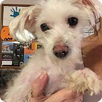 Adopt A Pet :: Snow - Bernardston, MA