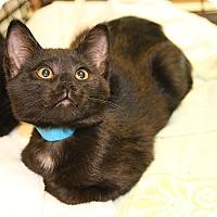 Adopt A Pet :: Bachelor Button - Rochester, MN