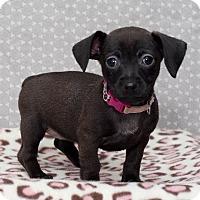 Adopt A Pet :: Elizabeth Bradford/pending - Hillside, IL
