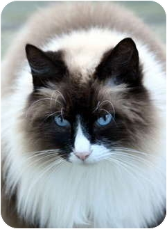 Maine Coon Cat for adoption in Crescent City, California - COOKIE