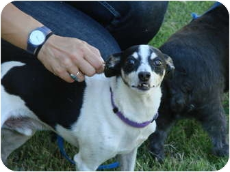 Rat Terrier Mix Dog for adoption in Chandler, Arizona - Gumby