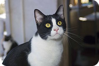 Domestic Shorthair Cat for adoption in New Port Richey, Florida - Thurman