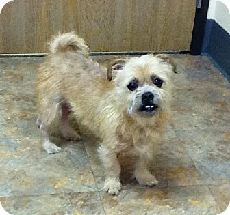 scruffy adopted dog rochester hills mi cairn