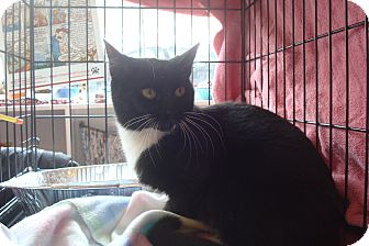 Domestic Shorthair Kitten for adoption in Brooklyn, New York - Tallulah