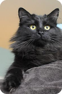 Persian Cat for adoption in Columbus, Ohio - Topaz