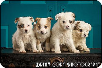 Poodle (Miniature)/Australian Shepherd Mix Puppy for adoption in Owensboro, Kentucky - Our Gang Puppies