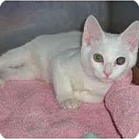Adopt A Pet :: White Kitten - Secaucus, NJ