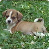 Adopt A Pet :: Reese - Allentown, PA