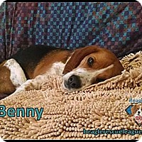Adopt A Pet :: Benny - Yardley, PA