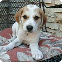 Adopt A Pet :: Creamsicle - Austin, TX