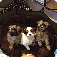 Adopt A Pet :: Shih Tzu mix Puppies - Norwalk, CT