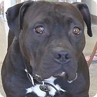 Adopt A Pet :: Noggie - West Los Angeles, CA