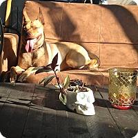 Adopt A Pet :: Stella II - Montreal, QC
