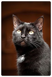 American Shorthair Cat for adoption in Middletown, New York - Midnight