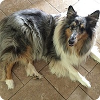 Adopt A Pet :: Koda - Powell, OH