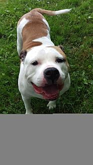 American Bulldog Dog for adoption in Alexandria, Kentucky - Roxy