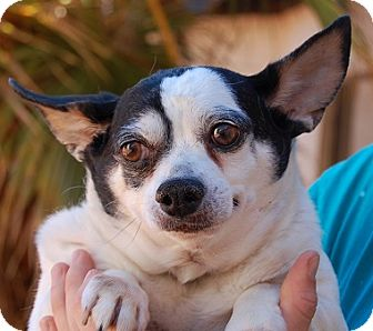 Chihuahua Mix Dog for adoption in Las Vegas, Nevada - Pancho