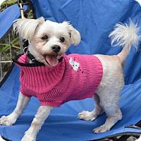 Adopt A Pet :: Snowy - Santa Monica, CA
