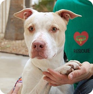American Staffordshire Terrier/Retriever (Unknown Type) Mix Dog for adoption in Las Vegas, Nevada - Sookie