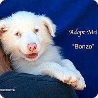 Adopt A Pet :: Bonzo - Acton, CA