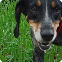 Bluetick Coonhound Dog for adoption in Palm City, Florida - Sabrina