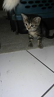 Bengal Kitten for adoption in Sunny Isles Beach, Florida - Hannah