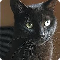 Adopt A Pet :: Eva- $65 - ASKS FOR ATTENTION - Naperville, IL