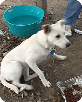 Shepherd (Unknown Type) Mix Puppy for adoption in Hagerstown, Maryland - Buffy