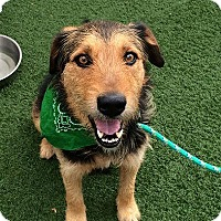 Airedale Terrier Mix Dog for adoption in Denver, Colorado - Matt Dillon