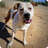 Adopt A Pet :: Ben's Spirit - Casa Grande, AZ