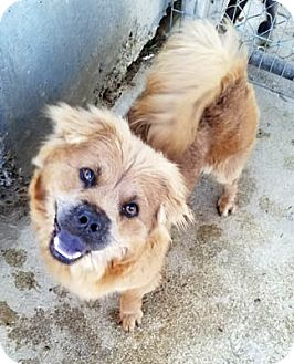 Chow Chow Mix Dog for adoption in Ventura, California - Bryn
