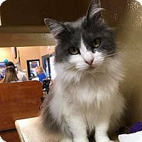 Adopt A Pet :: MewMew - Seal Beach, CA