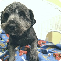 Adopt A Pet :: Harley adoption pending - Brattleboro, VT