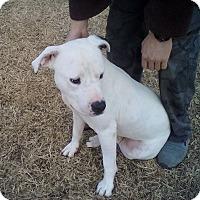 Adopt A Pet :: Angus - Albany, NY