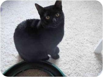 Domestic Shorthair Cat for adoption in Mesa, Arizona - Harley