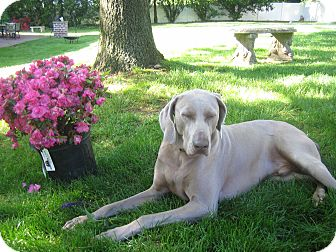 Weimaraner Dog for adoption in Attica, New York - Wyatt
