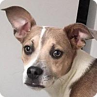 Adopt A Pet :: Tyson - North Brunswick, NJ