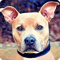 Adopt A Pet :: Scooby - Charlotte, NC