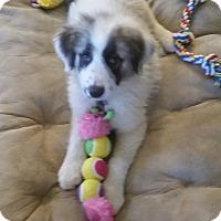 Adopt A Pet :: Pipkin/Sophie - Kyle, TX