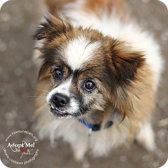 Skeeter adopted dog 16 0159 lyons ny shih tzu for Papillon new york